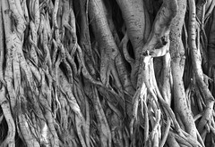 Botanica Complexica (peterkelly) Tags: bw digital canon 6d jaipur india asia banyantree trunk stem roots stems