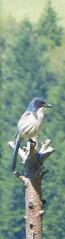 California Scrub-Jay (Aphelocoma californica); Taken through window; 5/18/2017; San Mateo County, Santa Cruz Mountains, CA, U.S.A. (BobcatWeather) Tags: bird passeriformes corvidae aphelocomacalifornica californiascrubjay corvid sanmateocounty santacruzmountains california usa bobcatweather georgiastigall fwnp