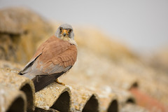 Lesser kestrel (Daniel Trim) Tags: falco naumanni lesser kestrel little falcon pantile nest site ruined buidling terracotta spain spanish calera y chozas birds iberia europe