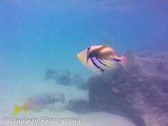 Hanauma Bay 13 (venusnep) Tags: hanaumabay hanauma bay underwater tropicalfish tropical fish iphone watershot watershotpro hawaii snorkeling travel travelphotography may 2018