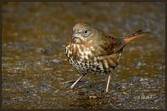 Fox Sparrow April3 (Maclobster) Tags: fox sparrow passerella iliaca
