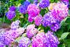 _DSC5219 (sayo-tsu) Tags: hydrangea 紫陽花 アジサイ saitama sattecity gongendopark 権現堂