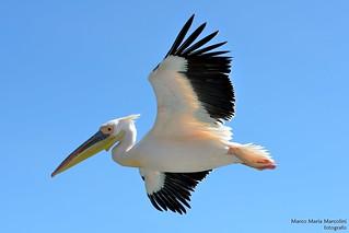 Flying sharpness (Pelecanus Linnaeus)