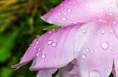 Softness  / Douceur (M. Carpentier) Tags: drips dripsdropsandsplashes spashes drip drop drops fleur fleurs flower flowers gouttes macromondays peonies peony pivoines rose