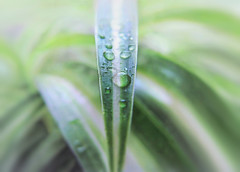 ooOo (guzmania*) Tags: dripsdropsandsplashes macromondays water waterdrops macro leaves drops hmm nature