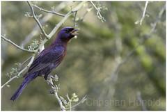 varied bunting (Christian Hunold) Tags: variedbunting songbird bird bokeh vielfarbenfink catalinastatepark sonorandesert arizona christianhunold