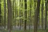 Hallerbos (Inmacor) Tags: arbol tree inmacor bosque belgica flores jacintos azules foret flower spring ltytr1