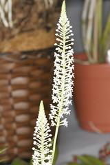 Cranichis candida-3 (Plinio Fabbro) Tags: flor flores orquídeas exposição rio claro flower orchids