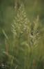 Trisetum cynosurus, Hordeum secalinum. St Brides Major, 1983