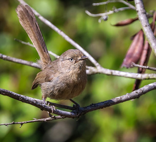 Young Wrentit Inceville Los Liones Canyon California 172