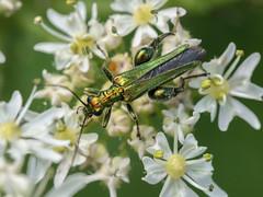 Flower Beetle - Oedemera nobilis (ArtFrames) Tags: flower beetle oedemera nobilis summerleysreserve green iridescent