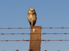 DSC09558(1) Coruja-buraqueira num poste da cerca do TAU. Uberlândia MG (Johannes J. Smit) Tags: brazil brasil owl coruja athenecunicularia