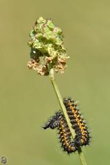 Saturnia pavonia - Petit paon de nuit (Ruddy Cors) Tags: saturnia pavonia petit paon de nuit