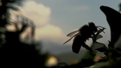 "MacroMonday: ""Silhouette"" (Alessio Bertolone) Tags: macromonday silhouette bee ape macro clouseup profonditàdicampo depthoffield it italy italia trentino nero black"