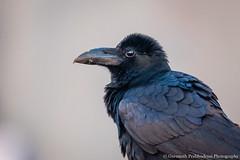 Sunrise in my eye... (Moving Iris) Tags: bird birdphotography nature nikkor200500 nikond500 crow sunrise