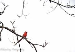 Standing Out (IdeaLuz Photography) Tags: sony sigma sky silhouette a7ii alpha animal a7 artistic art a7m2 a7mii a72 alone arbre angle bird tree highkey cardinal nature wild wildlife