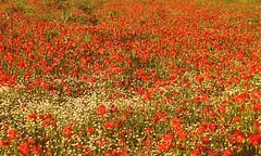 * Un vasto campo di papaveri e camomilla  *  A vast field of poppies and chamomile  * (argia world 1) Tags: campo papaveri camomilla vastocampo fiorispontanei field poppies chamomile vastfield wildflowers