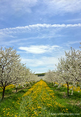 Cherry Blossoms ... 'dandilee' (Ken Scott) Tags: backpage cherryorchard blossoms dandelions bluesky clouds leelanau michigan usa 2017 may spring 45thparallel hdr kenscott kenscottphotography kenscottphotographycom