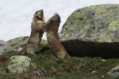 Marmottes (Fredww) Tags: france alps alpes hautesalpes ecrins marmottes marmots