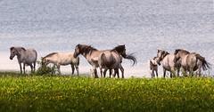 Konikpaarden (gitte123) Tags: konikpaarden horses nature water spring