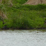 Wood Ducks with the Common Gallinule thumbnail