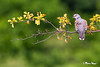 Calm the Dove (marcpeterphotography) Tags: european turtle dove doves pigeon zomertortel zomertortels duif duiven bird birds birdphotography birdphotographer wildlife wildlifephotography marcpeterphotography marcpeter marcpeterkooistra bulgaria nature naturephotography