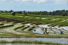 Rice Terrace (Paddy Field), Bali (Manoo Mistry) Tags: nikon nikond5500body tamron18270mmzoomlens tamron bali indonesia riceterrace ricefield rice paddyfield paddy green nature openspace tourism tourist balineseworker belimbing terraces planting agriculture asia food sawah water wet culture irrigation hut worker man new flooded working mud earth organic dirt tabanan travel
