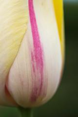 EG_051 (亞雲 Ed Lee) Tags: nikon d600 sigma 105mm f28 edward garden toronto botanical park outdoor evening afternoon overcast closeup macro portrait bokeh depthoffield plant color colour contrast bright detail floral spring bloom tulip petal flower stem pastel