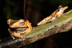 File-eared tree frog (Polypedates otilophis) perching next to a dark-eared tree frog (Polypedates macrotis) (edward.evans) Tags: polypedatesotilophis polypedates otilophis fileearedtreefrog darkearedtreefrog polypedatesmacrotis macrotis treefrog frog amphibian herp herping herps kubahnationalpark malaysia borneo sarawak nature wildlife macro wild forest rainforest asia southeastasia animal fauna
