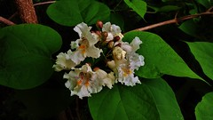 Northern Catalpa 2017 (matthewbeziat) Tags: northerncatalpa catalpa catalpaspeciosa floweringtrees kinderfarmpark kinderfarm marylandtrees americantrees