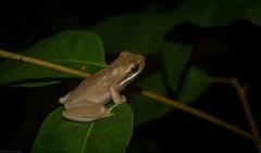 Litoria fallax (dustaway) Tags: amphibia anura hylidae litoria litoriafallax easterndwarftreefrog nature australianfrogs sequeensland queensland australia mounttamborine tamborinemountain