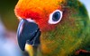 Look Into Ma Face! (a2roland) Tags: normanzeba2rolandyahoocoma2roland norm parrot mascara parakeet wild flower colors orange red yellow green eyes eyeshadow eyelashes lashes shadow liner eyeliner face portrait close up magnify magnification 105mm macro micro lens nikon nikkorr cmaera photo photography picture light source flash beak bite sight bokeh blur whites feathers head headshot shot © norman zeb all rights reserved