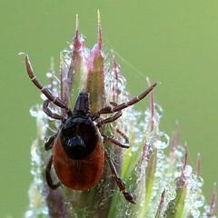Macro Mondays - Poisonous (Ramunė Vakarė) Tags: ixodesricinus ixodidae grass dew sleep morning lithuania eičiai ramunėvakarė macromondays poisonous nature reflection mite