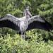 Wood Stork Wingspan