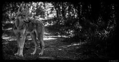 Le Petit Prince (Pilouchy) Tags: petit prince monochrome blackandwhite ado baby noir wood regard foret forest wolf eyes yeux lumiere vie free wild nature
