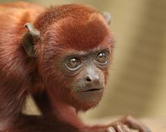 red howlermonkey apenheul BB2A1649 (j.a.kok) Tags: howlermonkey redhowlermonkey brulaap aap rodebrulaap apenheul zuidamerika southamerica mammal zoogdier dier animal