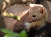 steenmarter anholt JN6A8844 (joankok) Tags: marter marten beechmarten martesfoina europe mammal zoogdier dier animal anholt steenmarter