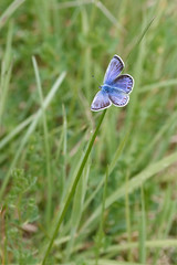 Common Blue (13833) (jonathanclark) Tags: spring insect butterfly kinnegar belfast belfastharbourestate northernireland nature natural wild wildlife grass grassland