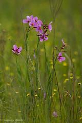 Meadow Beauty, Rhexia virginica (stephaniepluscht) Tags: alabama 2017 graham creek nature preserve foley wildflowers wildflower bog meadow beauty rhexia virginica