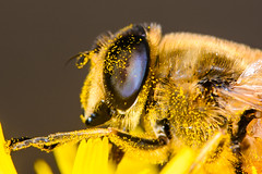 Hover fly (Shane Jones) Tags: hoverfly fly insect compoundeye pollen pollenation wildlife nature nikon d7200 tamron180mmmacro pk3extensiontube pk3x2 macro macrolife macrophotosnolimits macrolicious macromarvels