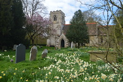 Daffodils in the Churchyard of St Peter (CoasterMadMatt) Tags: gunbyhall2017 gunbyhall gunby hall estate grounds countryhomes manorhouses country manor house home thenationaltrust nationaltrust stpeterschurch saintpeterschurch st saint peters church churches englishchurches daffs daffodil daffodils churchyard exterior outside building structure architecture lincolnshire lincs northeastengland england britain greatbritain gb unitedkingdom uk april2017 spring2017 april spring 2017 coastermadmattphotography coastermadmatt photos photography photographs nikond3200