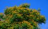 Peacock flowers on tree in summer (phuong.sg@gmail.com) Tags: bloom blossom blue botanical bright caesalpinia colorful deciduous delonix dwarf exotic feathery flamboyan flower gardens green gulmohar krishnachura leaves mexican multiple nature orange ornamental paradise petals pinnate pistil poinciana pulcherrima red scarlet shrub sky summer tree tropical tropics vermilion vietnam