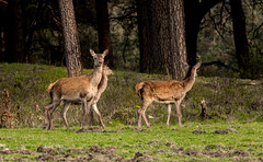Red Deer Hinds (Leen Goudappel) Tags: wildlife wild beautiful canon sigma 150600mm world europe earth spring perfection photography veluwe nederland netherlands hert edelhert hind hindes stunning deer red nature natuur