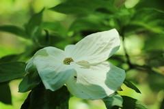 036A1436 (zet11) Tags: arboretum sggw w rogowie garden forest park tree flower dereń cornus eddies white wonder