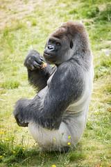 2017-06-05-10h48m53.BL7R7030 (A.J. Haverkamp) Tags: bokito canonef100400mmf4556lisiiusmlens rotterdam zuidholland netherlands zoo dierentuin blijdorp diergaardeblijdorp httpwwwdiergaardeblijdorpnl gorilla westelijkelaaglandgorilla dob14031996 pobberlingermany nl