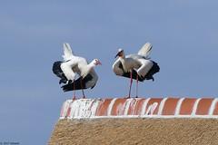 storks (jehazet) Tags: vogels birds ooievaar stork jehazet