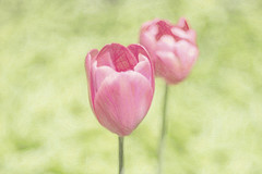 Pink Tulips in the Park (angie_1964) Tags: tulip park pink green soft creative victoriapark kitchener spring nikond800e