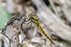 black tailed skimmer (Male) (RobLesliePhotography) Tags: nikon200500mm