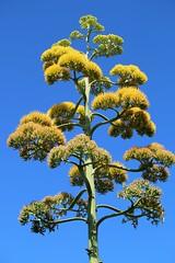"Eleuthera: C3ntury Plant in Bloom (Ali Bentley) Tags: ""century plant"" agave bloom flower eleuthera eleutheraisland thebahamas bahamas island caribbean centuryplant canon"
