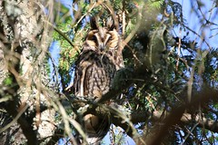 (Zatanen) Tags: sarvipöllö asiootus hornuggla longearedowl owl pöllö uggla birdsofprey raptor petolinnut rovfåglar raubvogel rovfugler hiboumoyenduc waldohreule bufopequeno buho rapaz rapace skovhornugle hornugle ugle